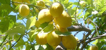 limone5